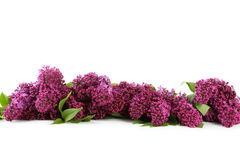 Lilac flowers. Purple lilac flowers isolated on white Stock Images