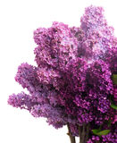 Lilac flowers. Purple Lilac flowers isolated on white background Stock Image