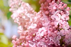 Close-up photo of beautiful Lilac flowers. Purple spring flowers. Floral seasonal background. Stock Photos