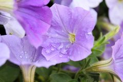 Lilac flowers with raindrops. Close-up royalty free stock images