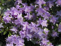 Lilac flowers rhododendron. Closeup Royalty Free Stock Photos