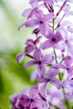 Lilac Flowers in Spring Stock Images