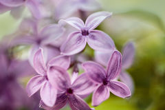 Lilac Flowers in Spring Stock Image