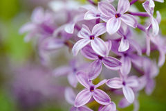 Lilac Flowers in Spring Royalty Free Stock Photo