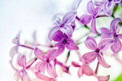 Lilac Flowers in Spring Stock Photography