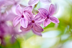 Lilac Flowers in Spring Stock Photo