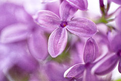 Lilac Flowers in Spring Royalty Free Stock Photos