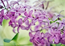 Lilac Flowers in Spring Royalty Free Stock Photography