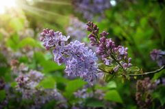Lilac flowers bunch violet art design background. Beautiful viol. Lilac flowers in spring garden. Spring background with  lilac flowers. Blooming lilac  lit by Royalty Free Stock Images