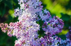 Lilac flowers in spring garden in the sunlight.  stock photography