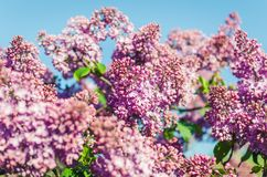 Lilac flowers in spring garden in the sunlight.  royalty free stock photo
