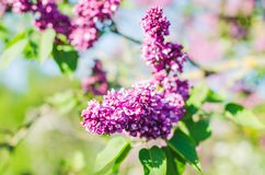 Lilac flowers in spring garden in the sunlight.  royalty free stock images