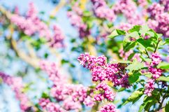 Lilac flowers in spring garden in the sunlight.  stock photo