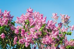 Lilac flowers in spring garden in the sunlight.  stock images