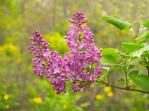 Lilac flowers in spring. Lilac flowers with green leaves in cloudy spring day Royalty Free Stock Images
