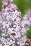 Lilac flowers Spring time close up Outdoor Park royalty free stock photos