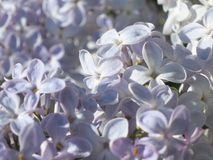 Lilac flowers - Stock Photo Royalty Free Stock Photos