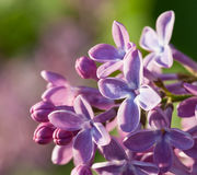 Lilac flowers. On a summer day Stock Image
