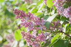 Lilac flowers in the sun stock photography