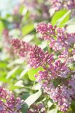 Lilac flowers in the sun stock images