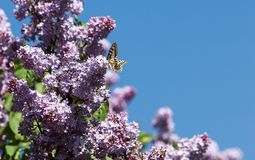 Lilac flowers. Swallowtail butterfly (machaon). The photo was taken in the park royalty free stock photography