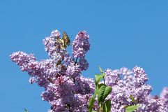 Lilac flowers. Swallowtail butterfly (machaon). The photo was taken in the park stock photos