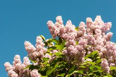 Lilac flowers on top of tree Stock Photo