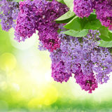Lilac flowers tree Royalty Free Stock Images