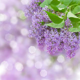 Lilac flowers tree Royalty Free Stock Image
