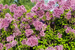 Lilac flowers on tree in garden. Stock Photography