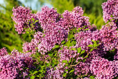 Lilac flowers on tree in garden. Royalty Free Stock Image