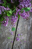 Lilac flowers in the vase Royalty Free Stock Images