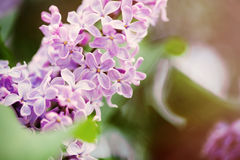 Lilac flowers Stock Image