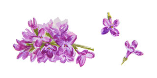 Lilac flowers. Warecolor blooming lilac branch and flowers isolated on white background, vector stock illustration