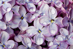 Lilac flowers with water drops. Stock Photos