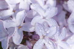 Lilac flowers with water drops Royalty Free Stock Image