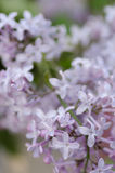 Lilac flowers with water drops Stock Photo