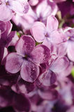 Lilac flowers with water drops Stock Photography