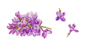 Lilac flowers. Watercolor hand drawn blooming lilac flowers isolated on white background stock illustration
