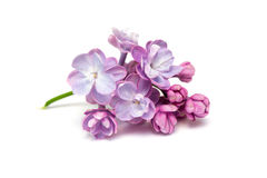 Lilac flowers . White background