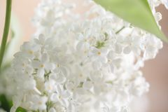 Lilac flowers of white color. Close-up. Macro stock photo
