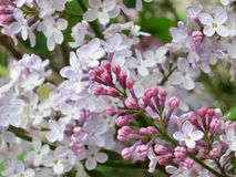 Lilac flowers - Stock Photo Royalty Free Stock Photography