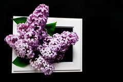 Lilac flowers in a white frame on a black background. stock photo