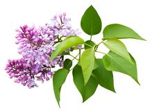 Lilac flowers on white isolated background. stock image