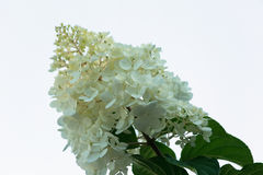Lilac flowers. White flowers of a lilac on a light background Royalty Free Stock Images