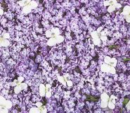 Lilac flowers and white pansy background. Flat lay. Top view royalty free stock images