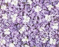 Lilac flowers and white pansy background. Flat lay. Lilac flowers  and white pansy background. Flat lay. Top view stock illustration