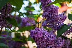 Lilac fragrance Stock Image
