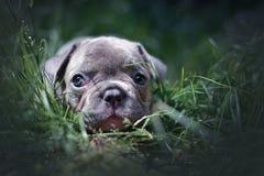 Lilac Franse puppy van de Buldoghond met blauwe ogen die in gras liggen stock afbeeldingen