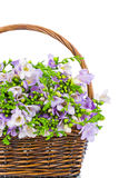 Lilac freesia in the wicker Stock Images
